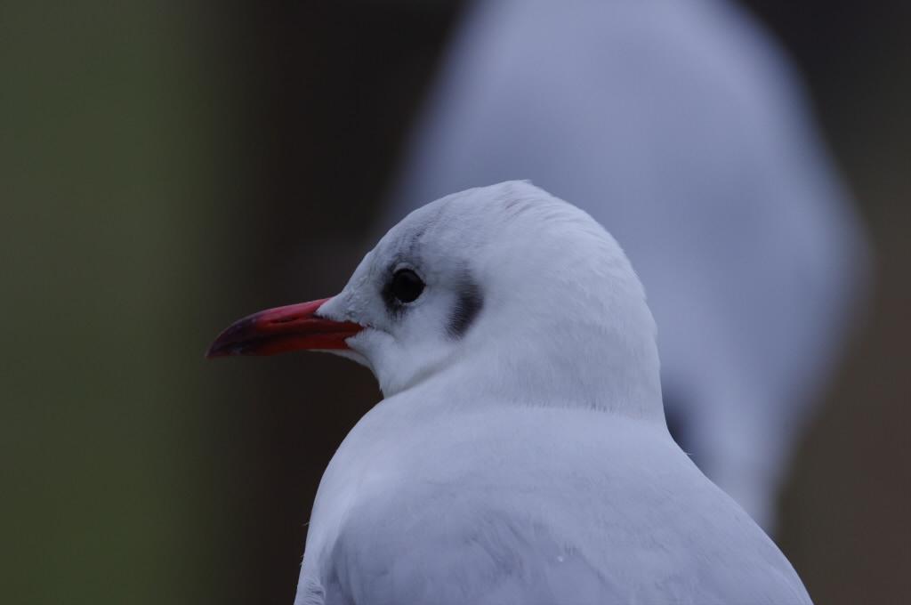 AFボーグ BORG71FLで撮影した野鳥・カモメの写真画像