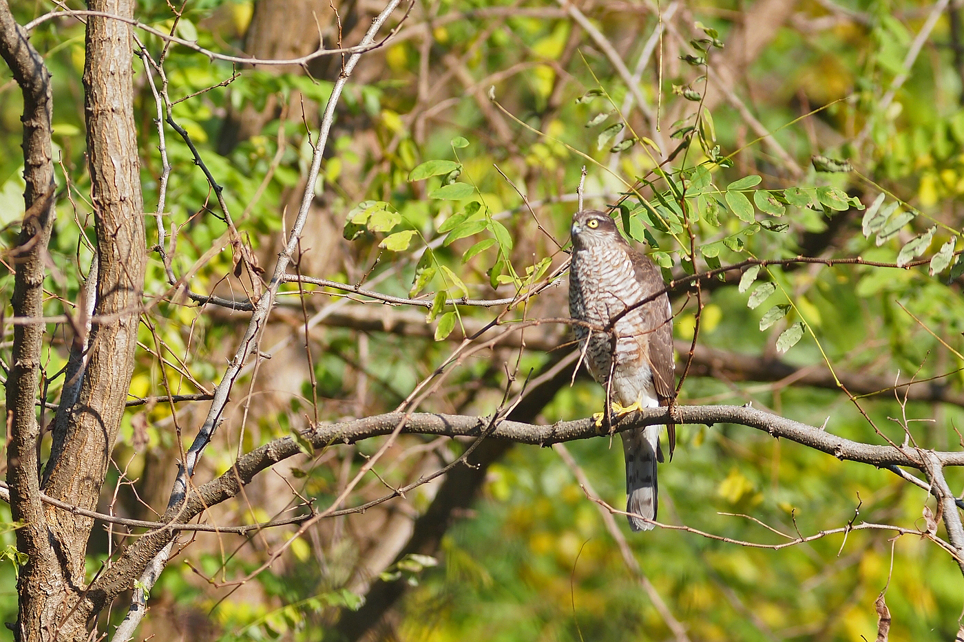 BORG71FLで撮影した野鳥・ハイタカの写真画像
