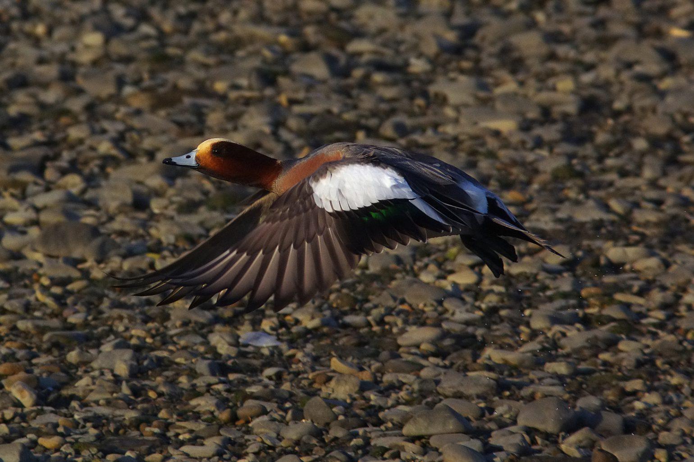 AFボーグ BORG71FLで撮影した野鳥・カモの写真画像