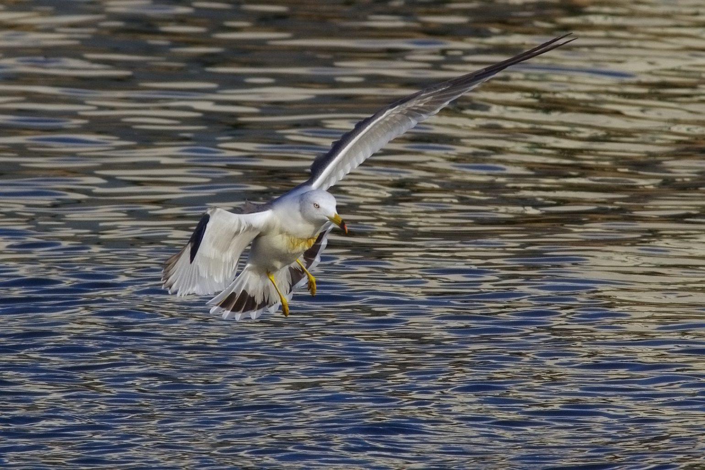 AFボーグ BORG71FLで撮影した野鳥・ウミネコの写真画像