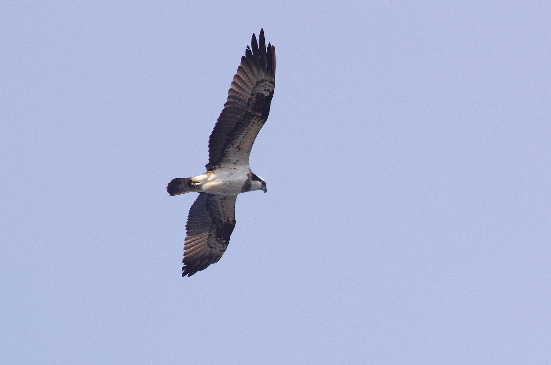 AFボーグ BORG45EDⅡで撮影したミサゴの野鳥写真画像