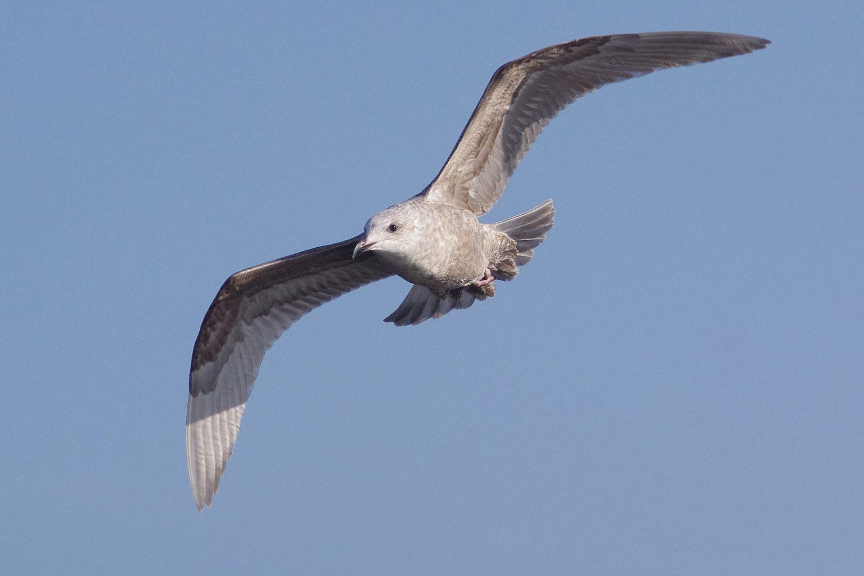 AFボーグ BORG45EDⅡで撮影したカモメの野鳥写真画像