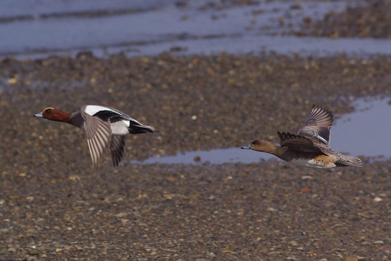 AFボーグ BORG45EDⅡで撮影したカモの野鳥写真画像