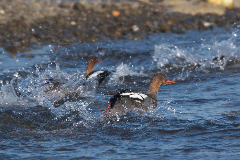 AFボーグ BORG71FLで撮影した 野鳥・ウミアイサの写真