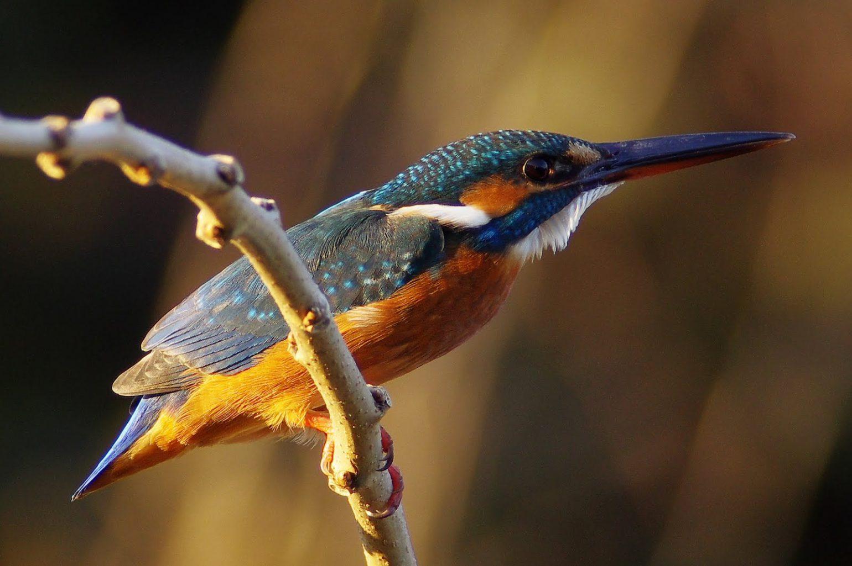 BORG77EDⅡで撮影した野鳥・カワセミの写真画像