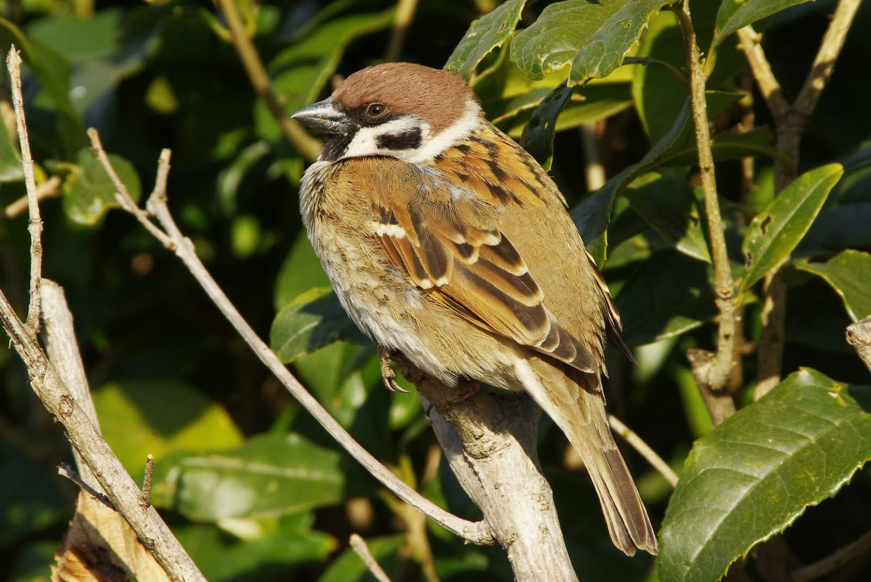 BORG71FLで撮影した野鳥・スズメの写真画像