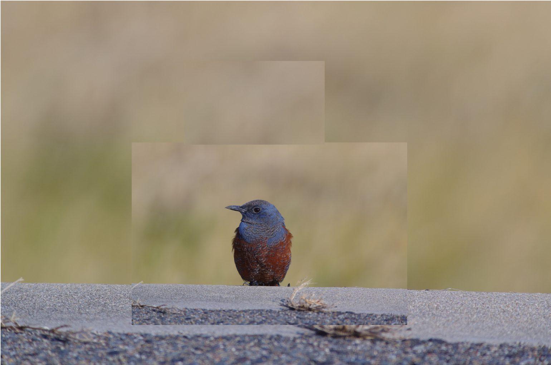BORGで撮影した野鳥・イソヒヨドリの写真画像