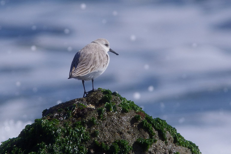AFボーグ BORG71FLで撮影した野鳥・ミユビシギの写真画像