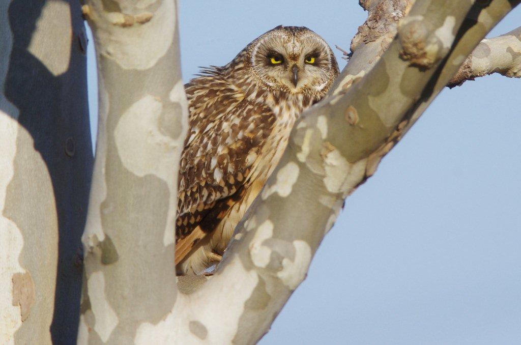 AFボーグ BORG71FLで撮影した野鳥写真画像