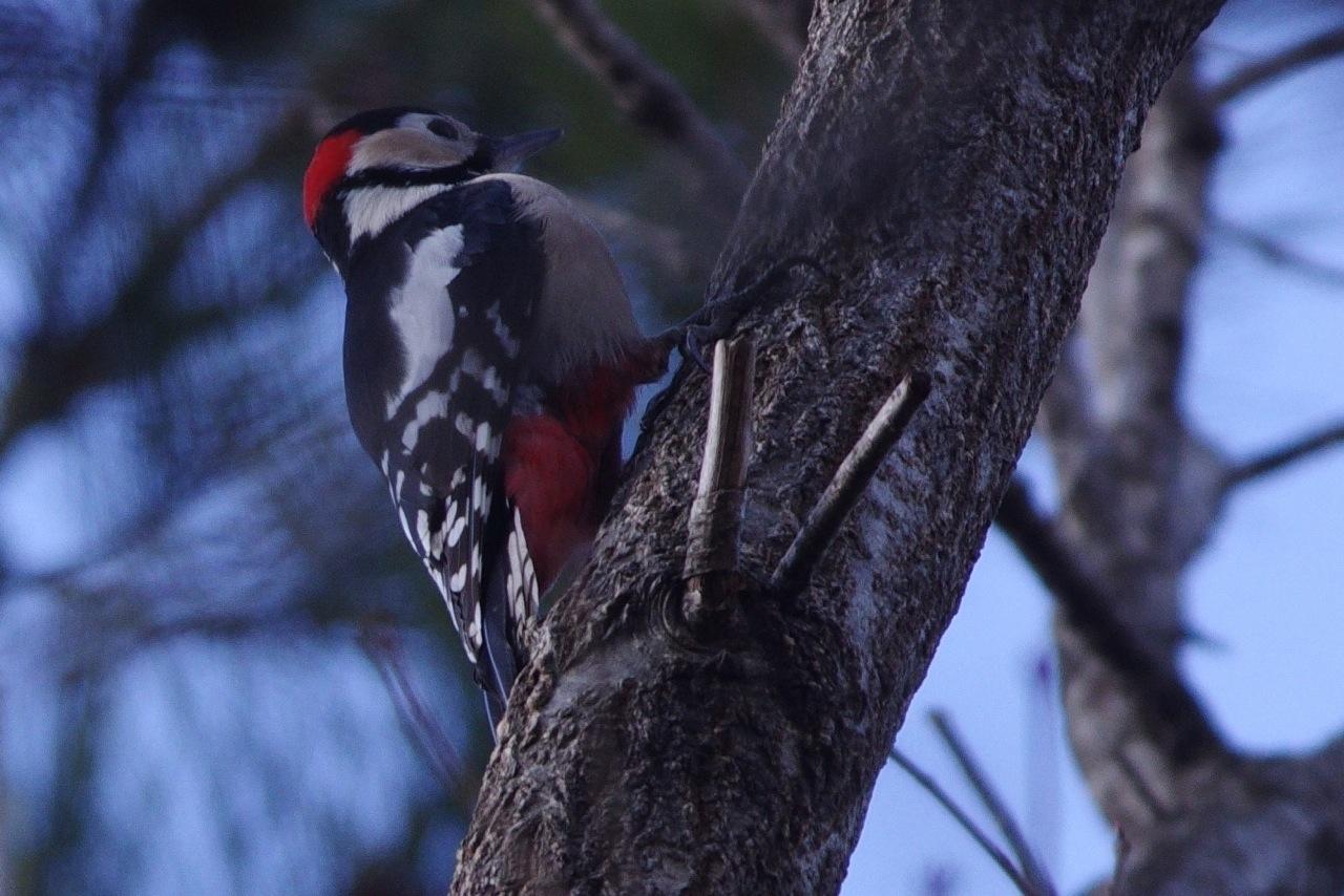 BORG50FLで撮影した野鳥・アカゲラの写真画像