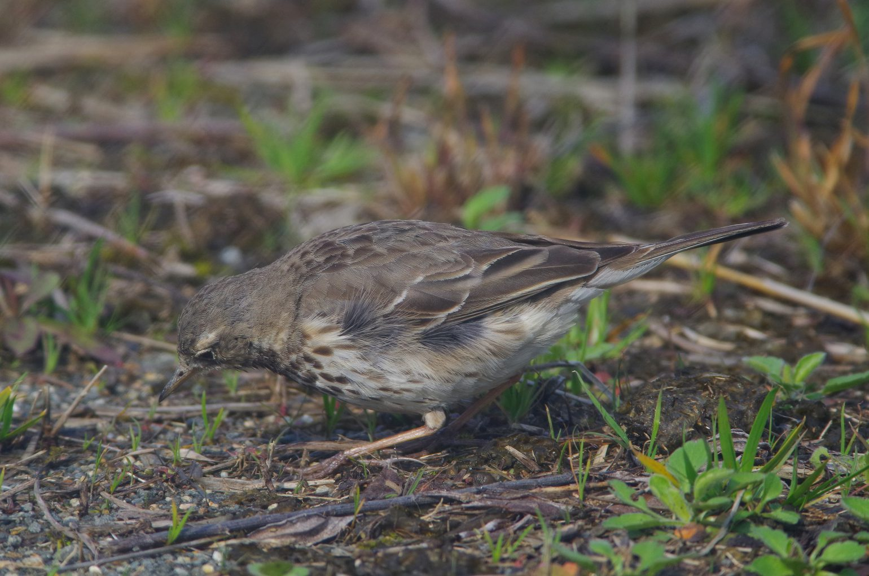 AFボーグ BORG71FLで撮影した野鳥・タヒバリの写真画像