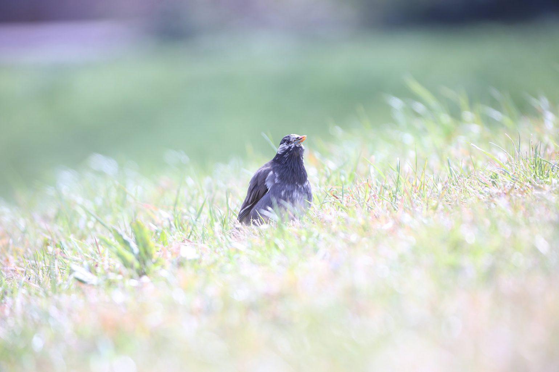 BORG50FLで撮影した野鳥・ムクドリの写真画像