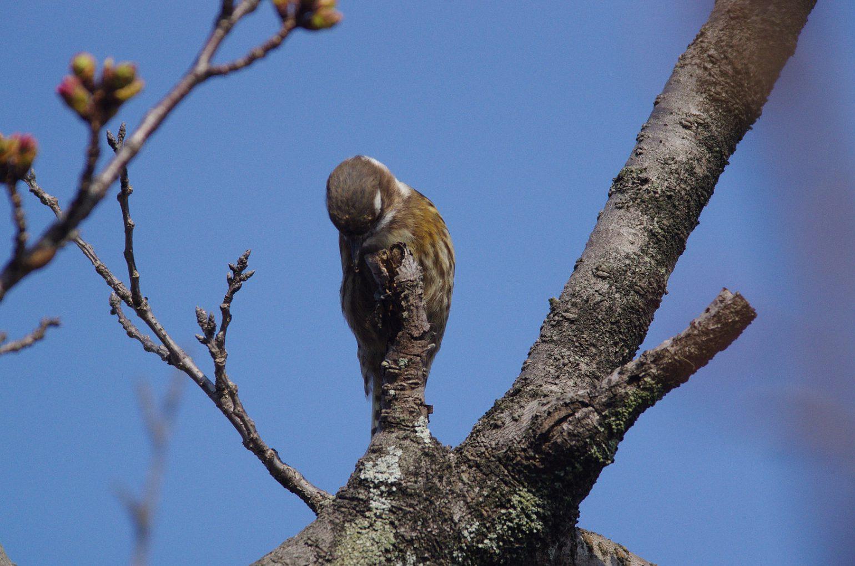 AFボーグ BORG71FLで撮影した野鳥・コゲラの写真画像