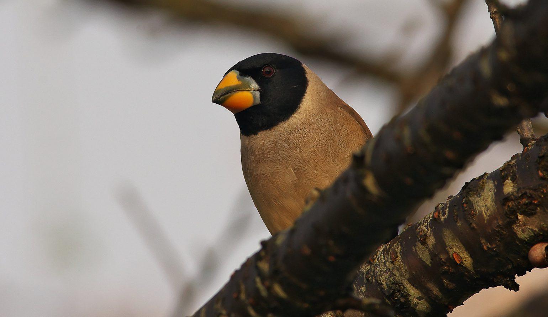 BORG71FLで撮影した野鳥写真画像