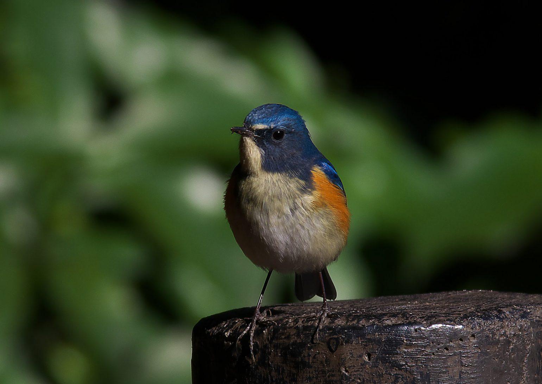 BORG71FLで撮影した野鳥ルリビタキ写真画像