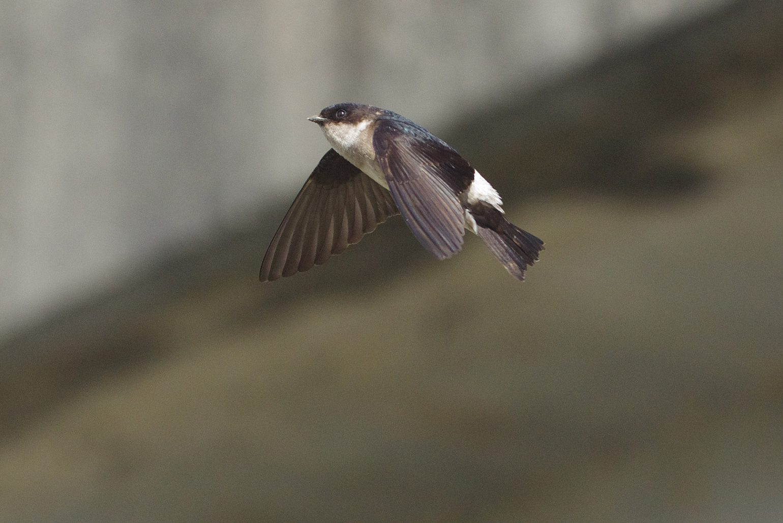 BORG45EDⅡで撮影した野鳥・イワツバメの写真画像