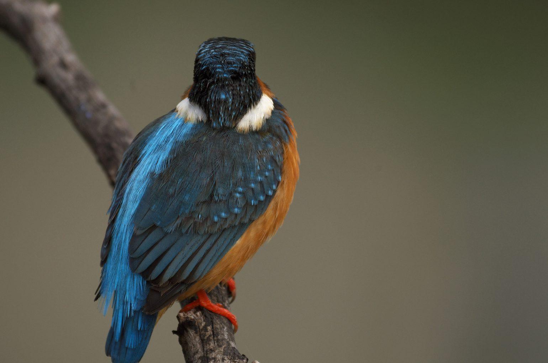 BORG50FLで撮影した野鳥・カワセミの写真画像