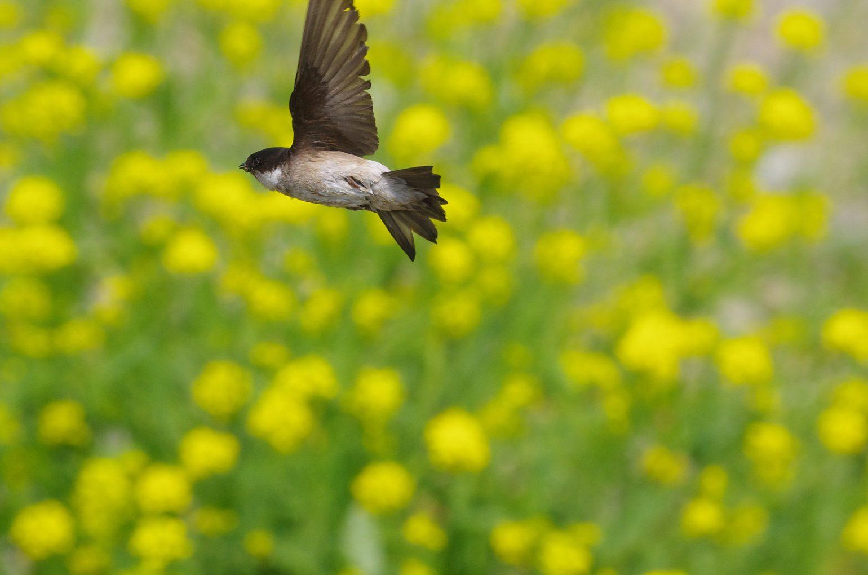 BORG50FLで撮影した野鳥・イワツバメの写真画像
