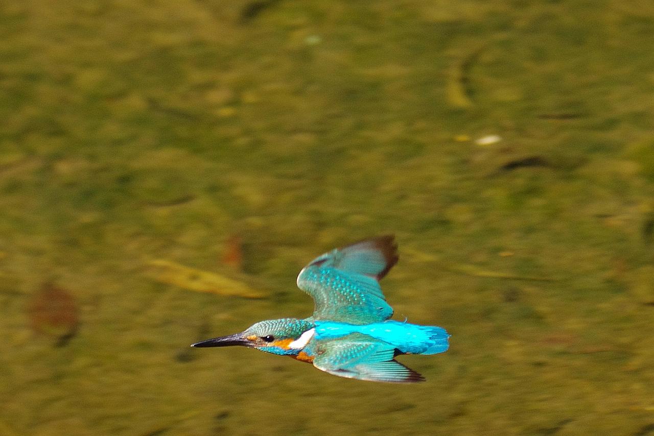 BORG60EDで撮影した野鳥・カワセミの飛翔写真画像