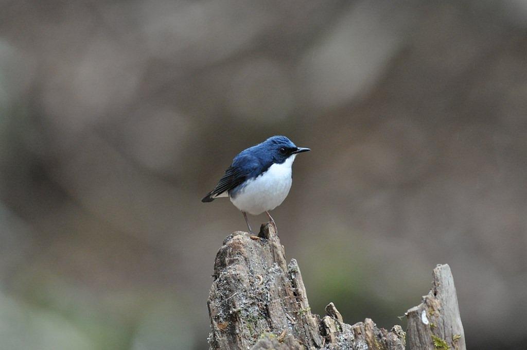 BORG77EDⅡで撮影した野鳥・コルリの写真画像