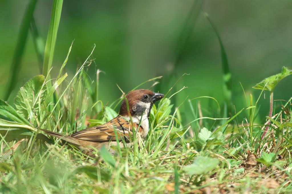 AFボーグ BORG71FLで撮影した野鳥・スズメの写真画像