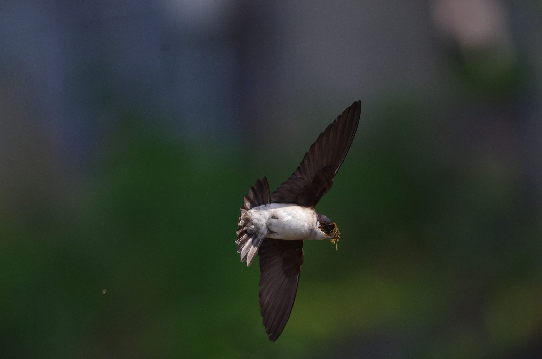 BORG 71FL +0.78×撮影 イワツバメの飛翔写真