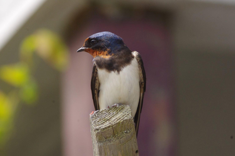 AFボーグ BORG60EDで撮影した野鳥・ツバメの写真画像
