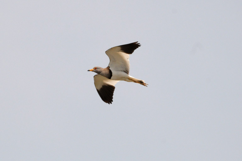 BORG71FLで撮影した野鳥・ケリの飛翔写真画像