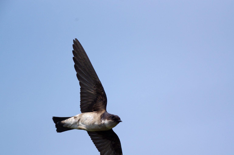 BORG71FLで撮影した野鳥・イワツバメの飛翔写真画像