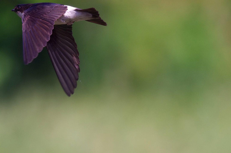 BORG50FLで撮影した野鳥・ツバメの飛翔写真画像