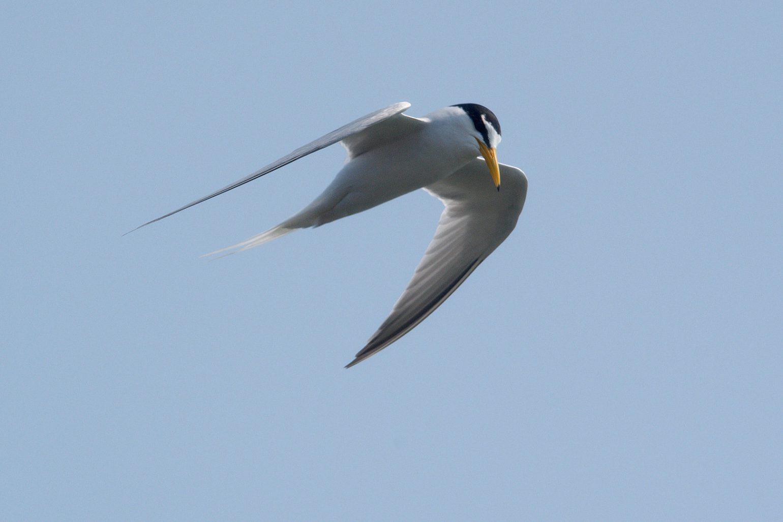 AFボーグ BORG50FLで撮影した野鳥・コアジサシの飛翔シーンの写真画像