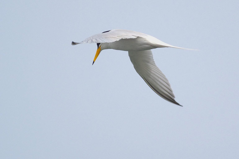 BORG71FLで撮影した野鳥・コアジサシの飛翔写真画像