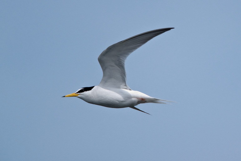 AFボーグ BORG71FLで撮影した野鳥・コアジサシの飛翔シーンの写真画像