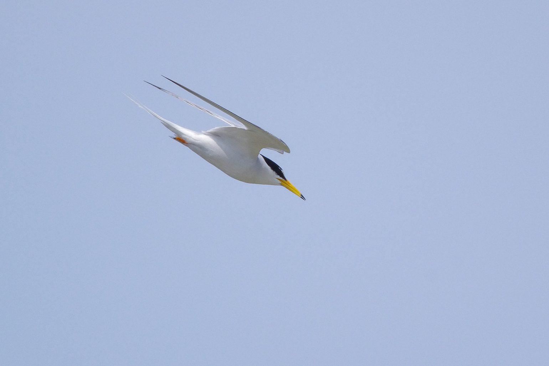 AFボーグ BORG71FLで撮影した コアジサシの飛翔写真(トビモノ)
