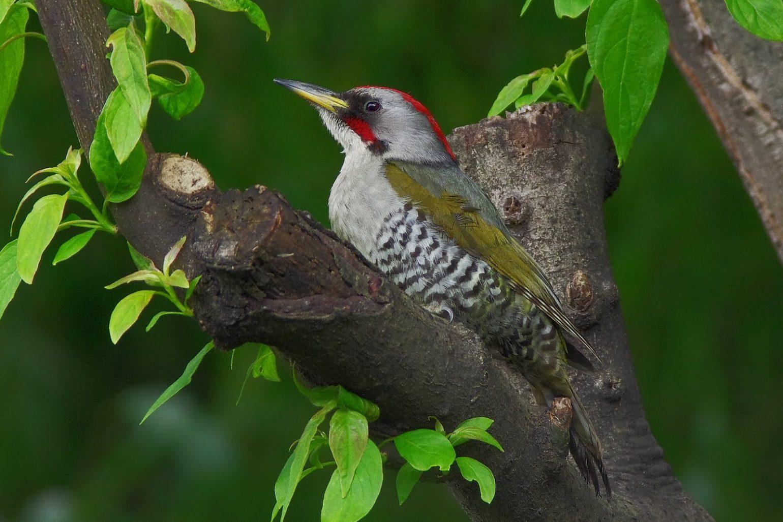 BORGで撮影した野鳥・アオゲラの写真画像