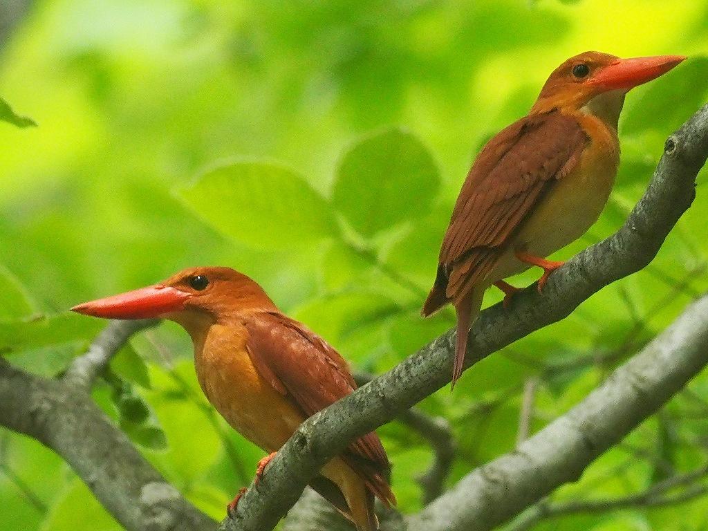 BORG71FLで撮影した野鳥・アカショウビンの写真画像