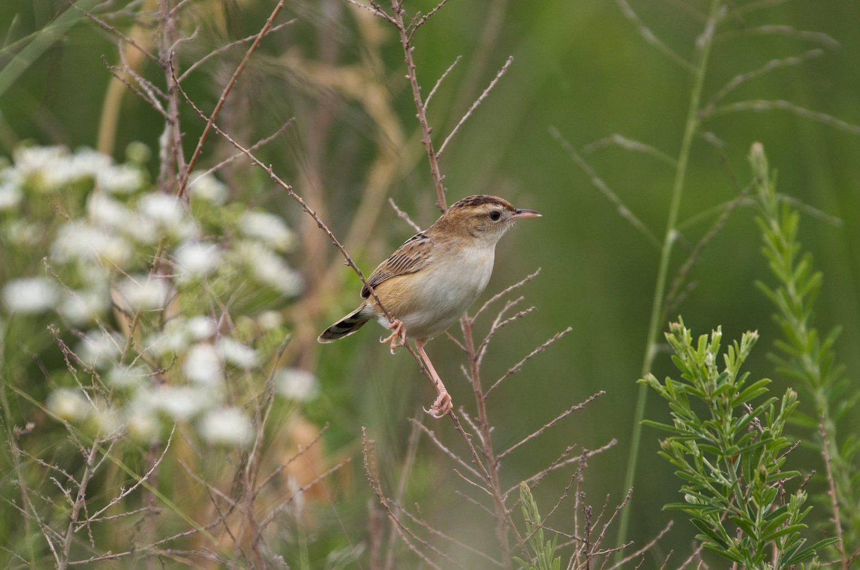 AFボーグ BORG71FLで撮影した野鳥・セッカの写真画像