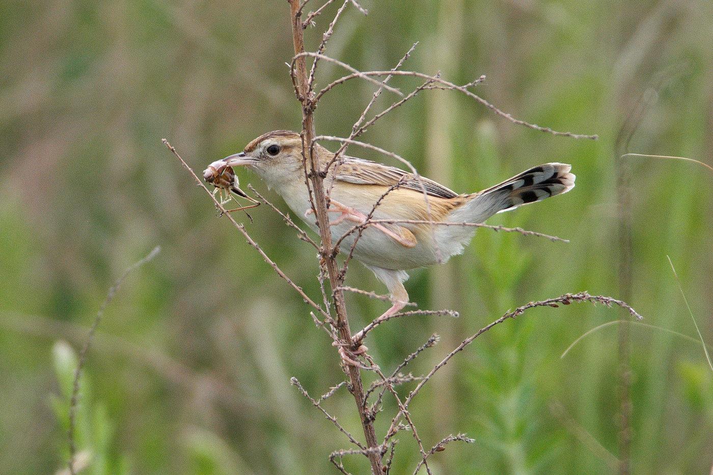 AFボーグ BORG71FLで撮影した野鳥・セッカの食事シーンの写真画像