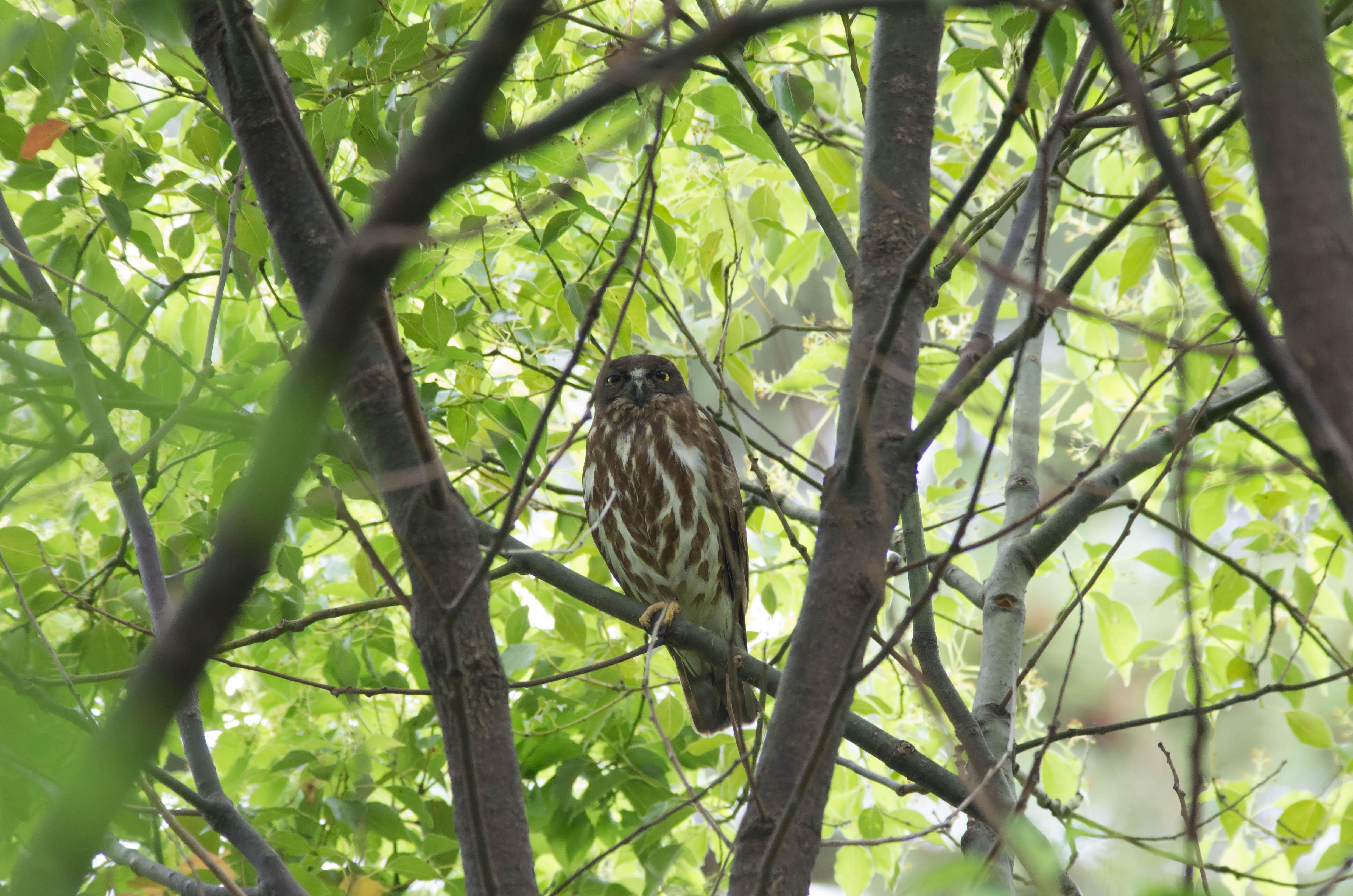 BORG71FLで撮影した野鳥・アオバヅクの写真画像