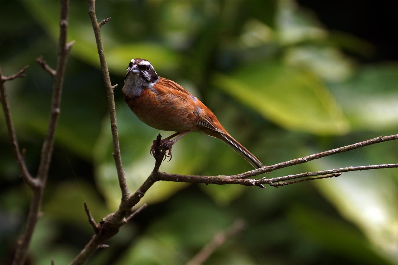 BORG71FLで撮影した野鳥・ホオジロの写真画像