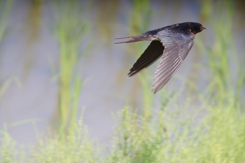 BORG50FLで撮影した野鳥・ツバメの飛翔写真画像(トビモノ)