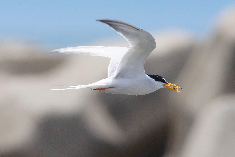 BORG50FLで撮影した野鳥・コアジサシの飛翔写真画像