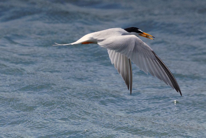 BORG50FLで撮影した野鳥・コアジサシの飛翔写真画像(トビモノ)