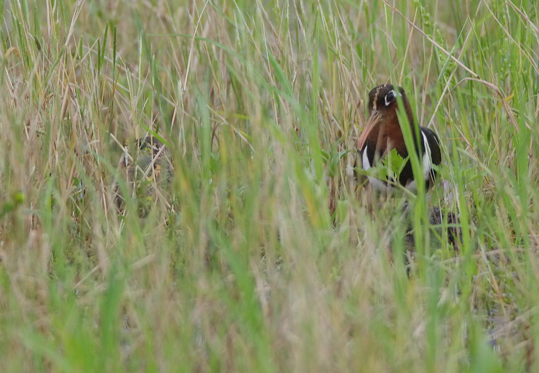 BORG71FLで撮影した野鳥・タマシギの写真画像