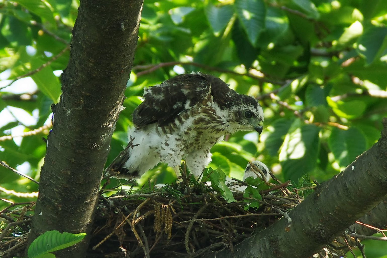 BORGで撮影した野鳥・ツミの子育ての写真画像