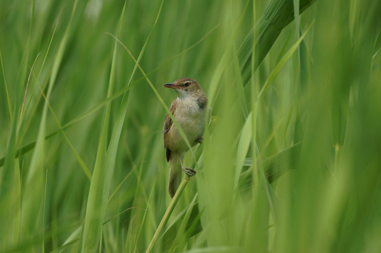 BORG71FLで撮影した野鳥・オオヨシキリの写真画像