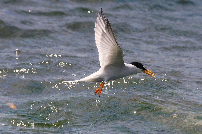 BORG50FLで撮影した野鳥写真画像 コアジサシのダイブシーン