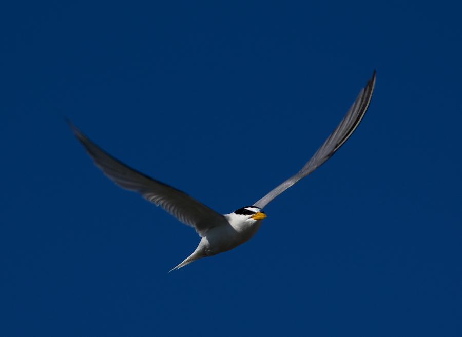 AFボーグ BORG71FLで撮影した野鳥・コアジサシの写真画像