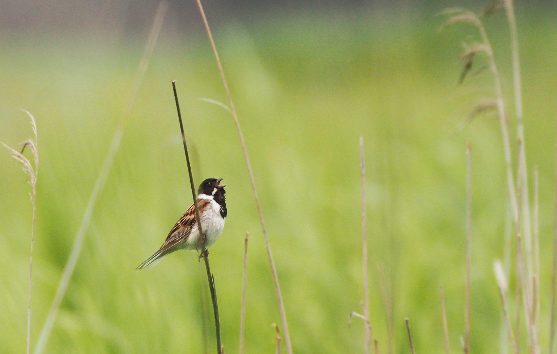 BORG71FLで撮影した野鳥・コジュリンの写真画像