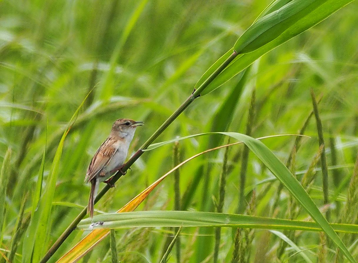 BORG71FLで撮影した野鳥・セッカの写真画像